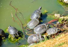 Group of gother tortoises royalty free stock photo