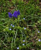 Group of Grape Hyacinth and Veronicas. A group of Grape hyacinth and Veronicas also called Speedwell are a perennial plants that blooms from spring to fall Stock Photo