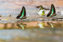 Group of Graphium butterflies Stock Image