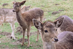 Group of Gray Deer on Green Grass Royalty Free Stock Photography