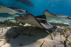 Group of gray juvenile southern sting rays forage for food. Using a wave like motion of their pectoral fins Stock Images