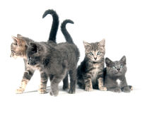 Group of gray kittens on white Royalty Free Stock Image