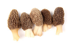 Group of gray morel mushrooms isolated on white. Group of five gray morel mushroom (Morchella esculenta) fruiting bodies collected in a back yard in Indiana Royalty Free Stock Photo