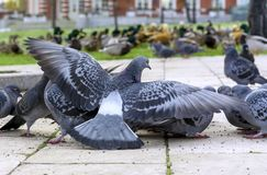 Group of gray pigeons in a city park stock photography