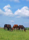 Group of grazing horses on the green field Stock Photo