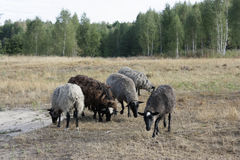 Group of grazing sheep. Stock Image