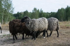 Group of grazing sheep. Stock Photos