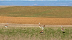 A group of Great Bustards Stock Photography