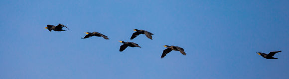 Group of Great Cormorant in flight Royalty Free Stock Images