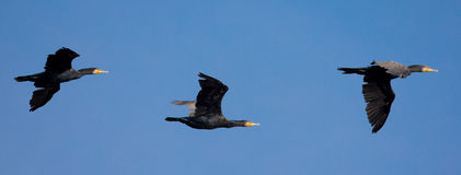 Group of Great Cormorant in flight Royalty Free Stock Photos