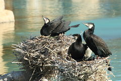Great cormorants Royalty Free Stock Photo