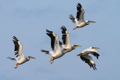 Group of great pelicans in flight Stock Photo