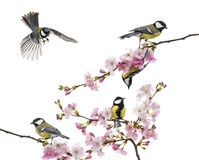 Group of great tit perched on a flowering branch, Parus major, i. Solated on white royalty free stock photo