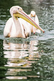 Group of Great white pelican - Pelecanus onocrotalus - are refle Royalty Free Stock Image