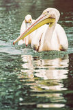 Group of Great white pelican - Pelecanus onocrotalus - are refle Stock Image