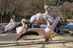 A group of Great White Pelican, Pelecanus onocrotalus, Stock Photography