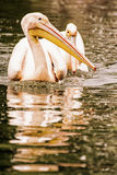 Group of Great white pelican - Pelecanus onocrotalus, yellow pho Royalty Free Stock Image