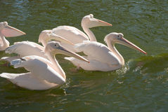 Group of Great White Pelicans Stock Photo