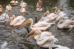 Group of great white pelicans Stock Images