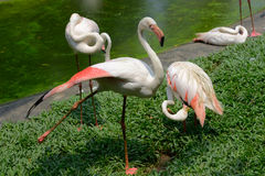 Group of a greater flamingo Royalty Free Stock Photo