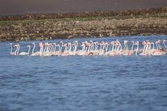 Group of greater flamingo bird. Family of greater flamingo bird swimming in line in water of the river. this picture click at mahi back water, banswara royalty free stock photo