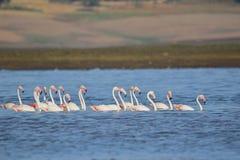 Group of greater flamingo bird. Family of greater flamingo bird swimming in line in water of the river. this picture click at mahi back water, banswara royalty free stock images