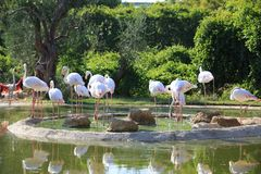 A group of Greater Flamingo birds stock image