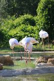 A group of Greater Flamingo birds royalty free stock image