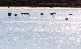 A group of Greater Flamingo Royalty Free Stock Photo