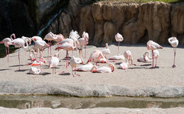 Group of Greater Flamingos Royalty Free Stock Image