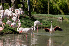 Group of Greater flamingos Royalty Free Stock Photos
