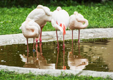 Group of Greater flamingos - Phoenicopterus ruber roseus - in ou Stock Photos