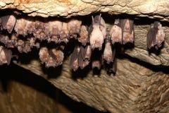 Group of Greater horseshoe bat Rhinolophus ferrumequinum Royalty Free Stock Photo
