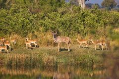 Group Greater kudu, Tragelaphus strepsiceros in the Bwabwata National Park, Namibia Royalty Free Stock Photo