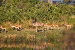 Group Greater kudu, Tragelaphus strepsiceros in the Bwabwata National Park, Namibia Stock Photos