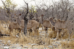 Group Greater kudu, Tragelaphus strepsiceros in the Etosha National Park, Namibia Stock Photography