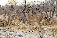 Group Greater kudu, Tragelaphus strepsiceros in the Etosha National Park, Namibia Royalty Free Stock Images