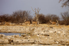Group  Greater kudu, Tragelaphus strepsiceros at the waterhole, Etosha National Park, Namibia Royalty Free Stock Photos