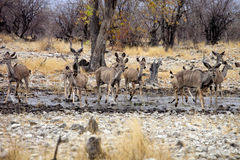 Group  Greater kudu, Tragelaphus strepsiceros at the waterhole, Etosha National Park, Namibia Stock Photo