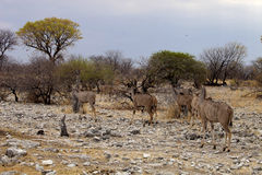 Group  Greater kudu, Tragelaphus strepsiceros at the waterhole, Etosha National Park, Namibia Royalty Free Stock Photos