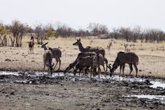 Group Greater kudu, Tragelaphus strepsiceros, at the waterhole, Namibia Stock Photo