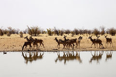 Group Greater kudu, Tragelaphus strepsiceros, at the waterhole, Namibia Royalty Free Stock Photos