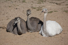 Group of greater rheas. Three young greater rheas (Rhea americana) sitting Royalty Free Stock Photography
