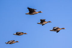 Group of Greater White-fronted Goose (Anser albifrons) in Format Stock Images