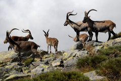 Group Gredos ibex in-Spain-Avila Royalty Free Stock Images