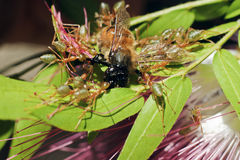 Group of green ants attacking a bee. A group of green ants (Oecophyllia smaragdina) attacking a bee when it lands on a flower to drink nectar Stock Image