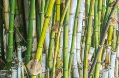Group of green bambo Stock Photos