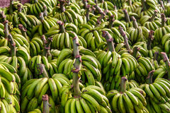 Group of green bananas maturing outdoors. Green bananas group in detail Royalty Free Stock Photography