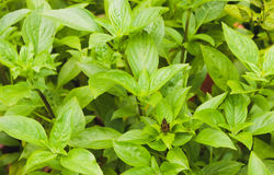 Group of Green Basil Leaf in the garden Royalty Free Stock Photo