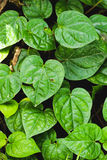 Group Green betel leaf in the garden Royalty Free Stock Photos